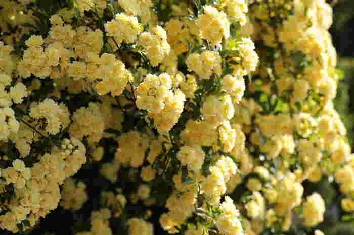 黄モッコウと比べて、白モッコウのほうが花の時期が少し遅めです。黄モッコウが枯れ始めると、白モッコウが咲き始めます。