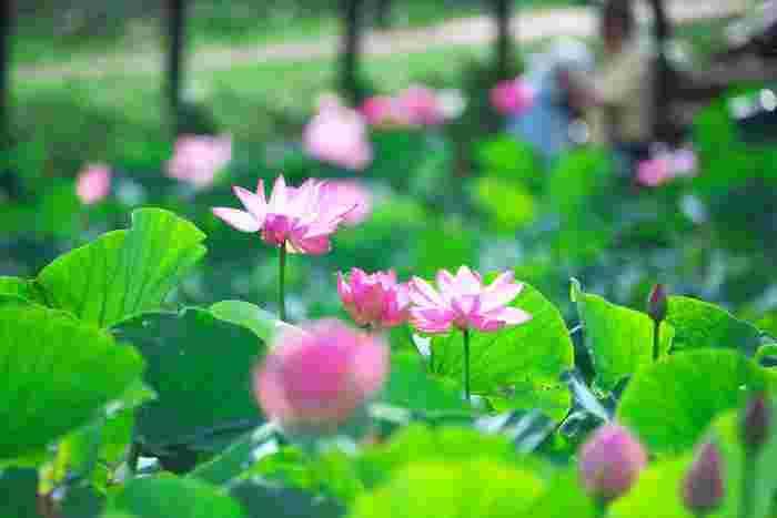 行田市の「古代蓮の里」では、毎年6月下旬~8月上旬にかけて蓮の花が見ごろを迎えます。東京ドーム約3つ分に相当する規模の園内で、蓮が咲くのは3カ所。