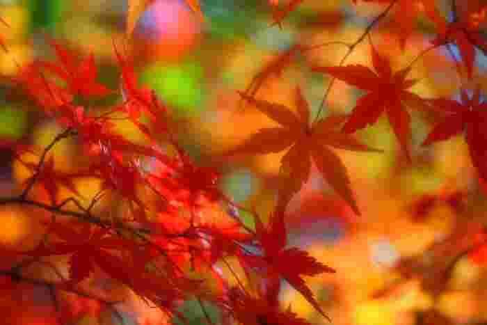 「紅葉狩り」は、山や渓谷などの自然豊かな場所で、色付いた紅葉を眺めて楽しむこと。 はるか昔から四季の美しさを題材とした歌が残されているように、四季を愛し、移り変わりに喜びを感じる、日本ならではの文化です。  自然が織りなす紅色や黄色のグラデーションは、冬の到来までのわずかな期間だけ楽しめる「自然の芸術」。地域や気候によって紅葉のシーズンは異なりますが、10月下旬~11月下旬に紅葉狩りを存分に楽しめるシーズンとなっています。  気候や温度の変化で毎日色合いが変わる紅葉は、まさに、一期一会の絶景。桜にように、移ろいゆく美しさだからこそ、たくさんの人を惹きつけて止まないのかもしれませんね。