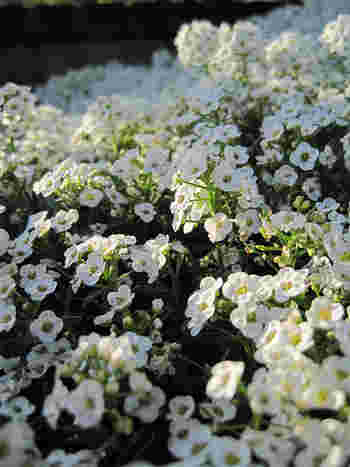 花言葉は「美しさを超えた価値」