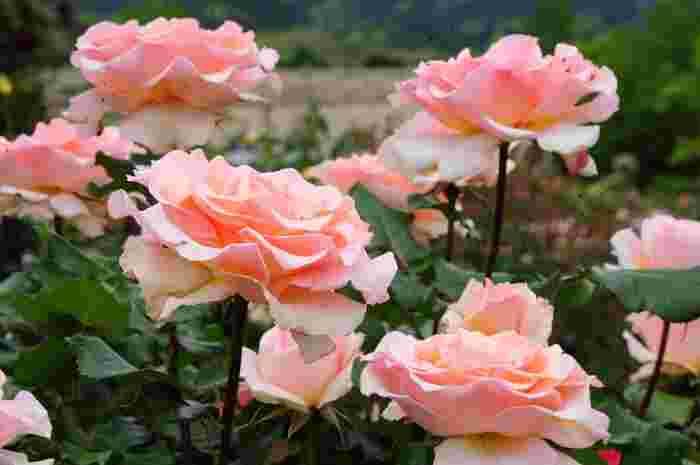 園内には1100品種、6,000株のバラが咲き誇っています。園内で働く方はバラ栽培技術に大変優れており、世界からも大変美しいと評判になっています。フランス式のバラ園は、絵画のように仕上げる技法のため、特に美しい仕上がりになる特徴があります。