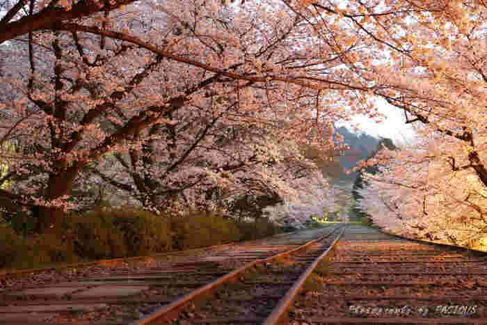 蹴上インクラインは桜の名所として有名です。インクラインの廃線跡には桜並木が植樹されており、毎年桜の季節になると桜色のトンネルが現れます。