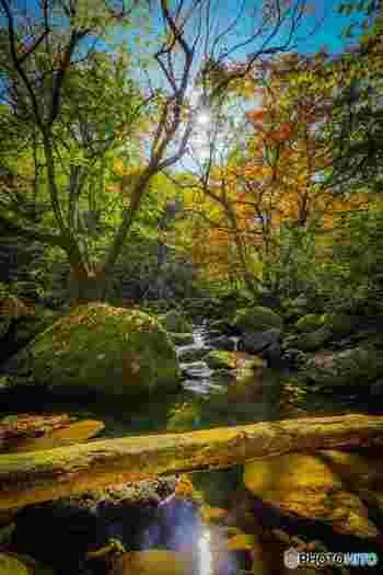 紅葉の名所であるマゼノ渓谷では、晩秋になると、樹々が鮮やかに彩ります。赤、朱色、黄色に染まった樹々は、マゼノ渓谷の美しさを引き立てています。