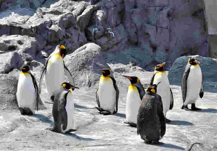 旭山動物園では、数多くのペンギンたちが飼育されていることで知られています。自然の生育環境を再現した岩場でペンギンたちがじっと佇んでいる様は、まるで小さな南極のようです。