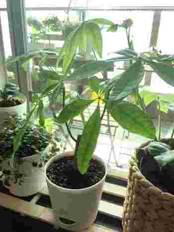 また、パキラは葉にエアコンの風が直接あたると枯れてしまいます。艶やかな葉っぱのためには保湿が重要!毎日、霧吹きで湿らせてあげてください。