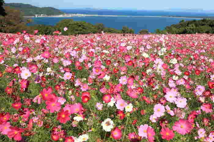 秋は、コスモス・遅咲きコスモス・ダリア・紅葉・海紅豆・サルビア。コスモスは10月上旬~中旬、遅咲きコスモスは10月下旬~11月上旬まで楽しめます。