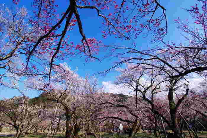 樹齢650年を超える梅の古木がある越生梅林は、関東を代表する梅林の一つです。敷地内には、白加賀、紅梅、越生野梅など約1000本の梅が植樹されており、毎年2月中旬頃から3月下旬頃にかけて見頃を迎えます。