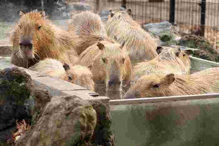 カピバラってお湯の中ではこうなっているんですね(笑) 11頭のカピバラたちが全員入ればギュウギュウになってしまいますが、それもまた可愛いんです。