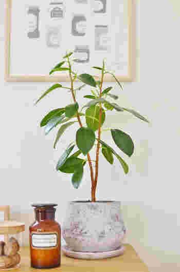 """ゴムの木は""""フィカス""""ともいわれ、とても種類の多い観葉植物です。個性的な樹形や葉っぱの形が楽しめ、インテリアにもおすすめ。小さな株でも存在感があり、大きなものなら家のシンボルツリーにも。ゴムの木の中でも特にウンベラータやベンジャミン、アルテシーマなどの品種が人気です。"""
