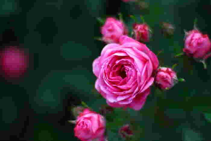 フラワーギフトの大定番と言えるバラ。実は色によって様々な花言葉があるんです。濃いピンクのバラは「感謝」や「愛している」という花言葉で、お礼の意味を込めて贈るのにぴったり。世代を問わず喜ばれるはずです。