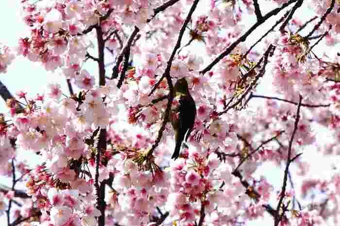 桜の木では、甘い蜜を吸いにやってきたメジロなどの野鳥の姿をみかけることができます。