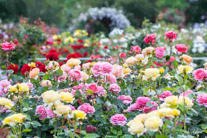 京成バラ園は、千葉県八千代市にある有名なバラ園です。京成バラ園芸株式会社というバラメーカーが展開しているバラ園のため、とにかく品種が豊富で、その数1,600品種にものぼります。敷地内には10,000株以上のバラが咲き誇り、お気に入りの品種はガーデンセンターで購入もできますよ。
