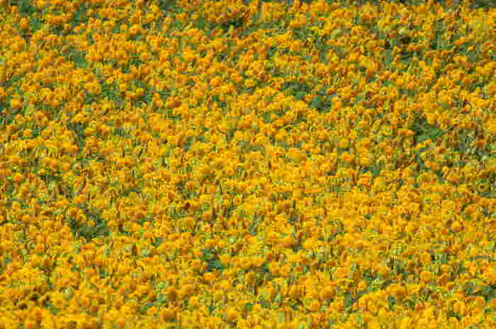 筑波山麓に広がる田園風景に、一面の八重ひまわりと黄色コスモスの花が広がる光景は壮観。その数はなんと100万本!会期は8月30日〜9月7日と少し遅め。これだけの景色を無料で楽しめるのも嬉しい。