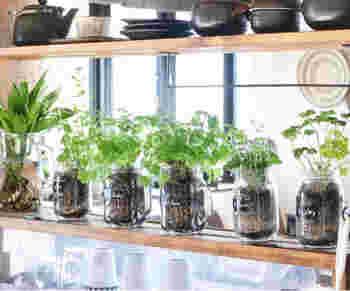 お揃いのガラス瓶に植えたハーブを一列に並べると、お洒落なインテリアになります。毎日、ハーブの成長を眺めつつ、すこしずつ摘み取ってフレッシュハーブの香りの良さを味わいましょう。