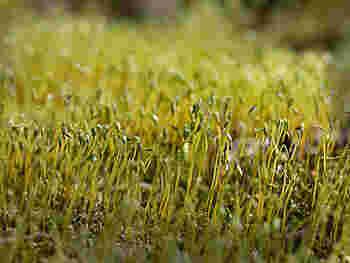 庭もベランダもない!という場合でも、キッチンや部屋の中で水耕栽培を楽しむことができます。バジルのほかパクチーなども水耕栽培で育てられます。スプラウト(新芽)がにょきにょき伸びていく姿はかわいらしくて和みますよね。便利なキットも市販されていますよ。