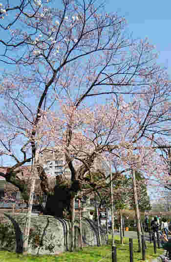 盛岡地方裁判所前にある国の天然記念物・石割桜。  大きなカコウガンの割れ目に生える、ヤマザクラ。なんと、樹齢は400年です!  春に訪れたなら、ぜひこちらの盛岡のシンボルを目に焼き付けたいですね。