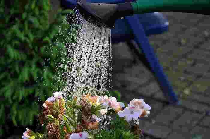 春の水やりは、春先の頃は少なめで、徐々に増やしていきます。季節の変わり目に大量の水を与えると根腐れの原因になりますのでご注意を。そして、夏の水やりは朝と夕方にたっぷりと。昼間の炎天下の水やりは根を傷めますので厳禁です。