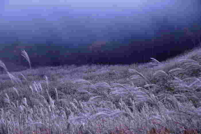 イネ科ススキ属の植物。秋の七草の一つ「尾花」はススキを指します。お月見の晩に、豊穣と無病息災を願って、お団子と稲穂に見立てたススキをお供えする方もおいででは。画像は神奈川県箱根町・仙石原のススキ草原。