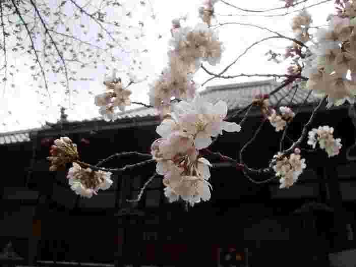 「桜寺」との別名を持つ桜の隠れた名所「墨染寺(ぼくせんじ)」。境内は小さくこじんまりとしていますが、所狭しとソメイヨシノや墨染桜で埋め尽くされた景色を楽しむことができます。お花見シーズンには桜祭が開かれ、毎年賑わいをみせています。