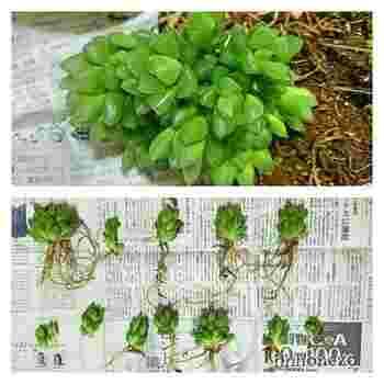 切り口が大きい場合は、一日ほど乾かしてから植えましょう。