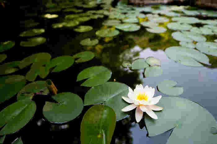 初夏になると、池の睡蓮が静かに花をひろげます。モネの作品とあわせて楽しめるのはこの美術館ならではです。