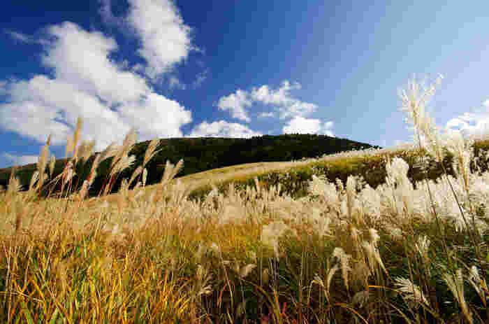 ススキの見頃は、9月下旬~11月上旬。初秋は銀色、秋が深まると金色に輝く姿はこの季節ならではの美しさ。