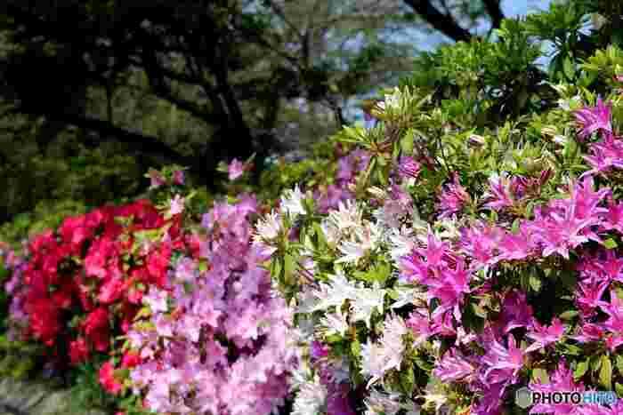 むせ返るように咲き誇るつつじの「群馬県立つつじヶ丘公園」。その名の通り、公園にはなんと約1万株のツツジが一斉に花開きます。中には樹齢800年を超える山ツツジも。  つつじのトンネルだってあります。広い園内はまさにツツジ一色!