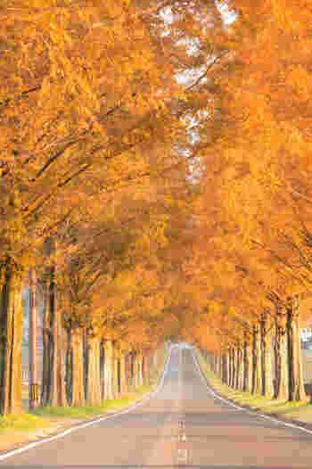 真っすぐに伸びる直線道路と、円錐形をしたメタセコイアの並木が延々と続く道は、まるでヨーロッパの田園風景のような趣をしています。毎年晩秋になると、メタセコイア並木が見事に紅葉し、オレンジ色のトンネルのような景観をつくり出しています。