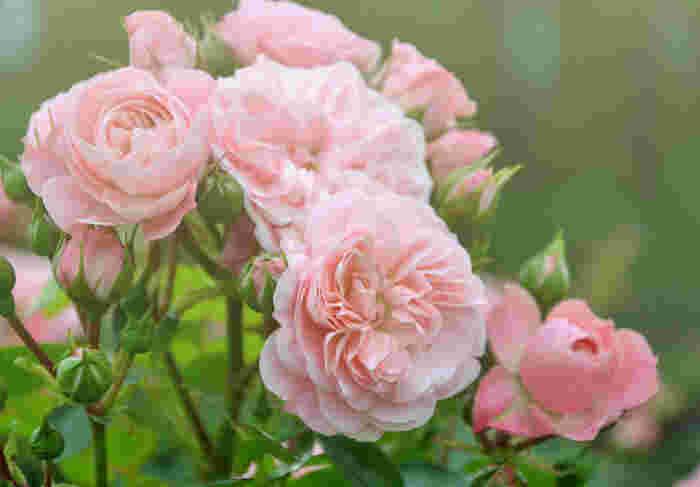 春には一斉に100万本程のバラが咲くため、ゴールデンウイークなどの観光に大変おすすめです。敷地内では切り花の体験や、バラの苗の販売もしています。バラのソフトクリームも名物ですよ。