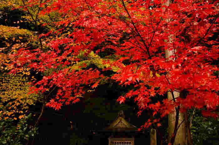 當麻寺境内の西南院では、秋になると樹齢300年を超えるもみじの大木が深紅に染まります。もみじの紅葉は、燃え盛る炎をのようで、江戸時代に造られた日本庭園を持つ西南院の美しさを引き立てています。
