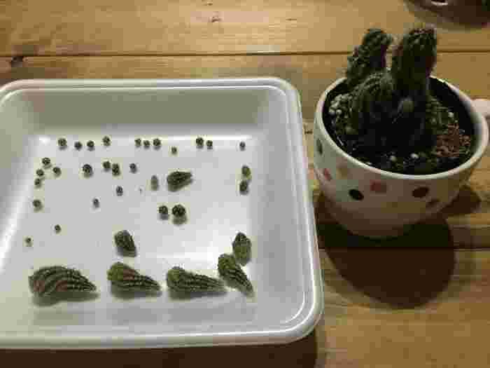 サボテンは、根や茎を切り離して新しい株を作ることができます。方法は、まずサボテンの子株を切り取り、7~10日ほど乾燥させます。そして、鉢にサボテン用の土と肥料を混ぜて入れ、乾燥させた子株を植えます。10日ほどで根が張り始めたら、水やりを。株分けは通年できるのですが、品種によって違いもあるので、できれば成長期の少し前に行うのがベストです。