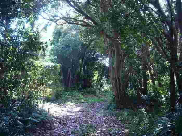 伊豆大島は、椿の楽園と言えるほど多くの椿が自生しています。竹芝から伊豆大島までは、高速フェリーで約1時間45分。都内から日帰りもできますよ。ぜひ自然豊かな「都立大島公園」に足を運んでみませんか?