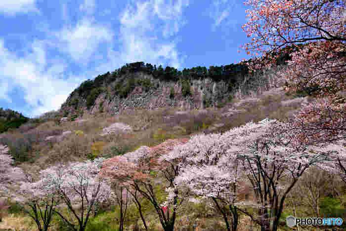 国の天然記念物に指定されている屏風岩は、高さ200メートルに及ぶ柱状節理の断崖です。屏風岩麓の屏風岩公苑は、桜の名所としても知られており、春が訪れる頃になると樹齢100年を超えるヤマザクラが咲き誇ります。