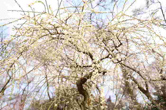 石山寺境内では、紅梅、白梅のほか、枝垂梅を中心とした約400本の梅が植栽されています。満開に花を咲かせた枝垂梅は、天女の羽衣のような美しさです。