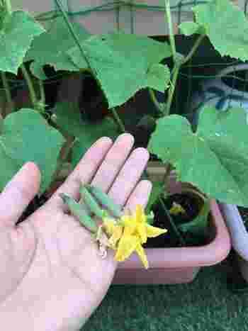 親づるが大人の背丈くらいまで育ったら先端を摘み取ります。この摘芯によって親づるはそれ以上伸びなくなり、下の方の花や実に養分がよく回るようになります。また、5~6節くらいまでに出る花芽はすべて摘み、その上に出たつるは2節で摘芯。せっかくできた芽を摘むのは心が痛みますが、子つる孫つるを伸ばし過ぎて葉が増えると風通しを阻み、病気の原因になってしまいます。成長した実に葉影を作らないよう、古い不要な葉をこまめに摘み取ることも大切です。
