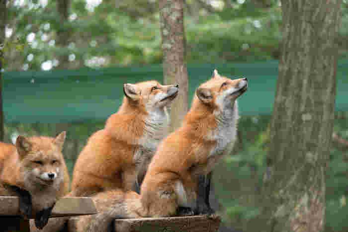 白石蔵王駅から車で約20分ほどのところにある「蔵王キツネ村」は、キタキツネの他、銀ギツネやホッキョクギツネ、プラチナギツネなど、珍しいキツネが見られる国内唯一の動物園です。