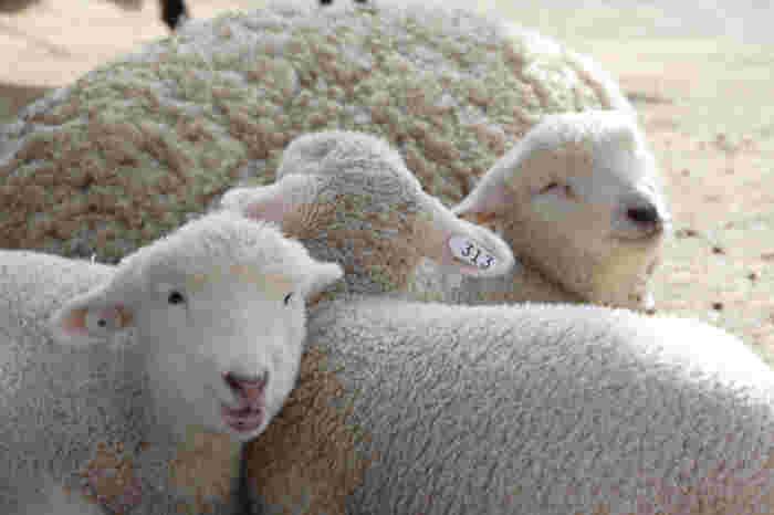 子羊たちの毛は白く柔らかくてふわふわ!羊は春が出産シーズンなので、春~初夏にかけては特にかわいらしい子羊を抱っこすることができますよ。