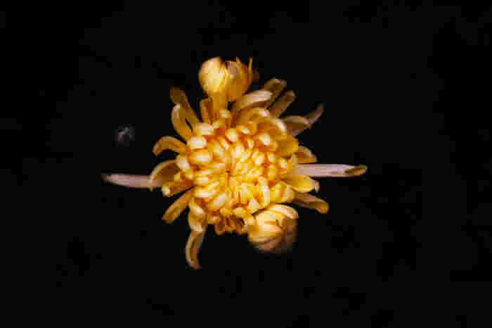平安時代は菊に降りる露には長寿の効果があるとされ、夜のうちに菊の花に綿をかぶせて翌朝、その綿で身を清めていたそうです。