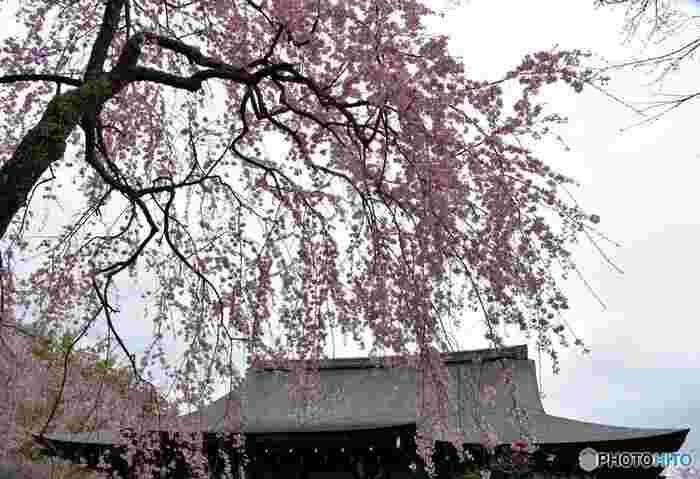 天龍寺境内には、枝垂れ桜、ソメイヨシノ、山桜など数多くの桜が植樹されており、春爛漫とした空気に包まれながら絶景を眺めることができます。