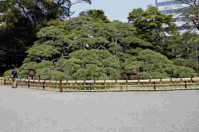 六代将軍家宣が庭園を大改修したとき、その偉業をたたえて植えられた松です。樹齢をにふさわしい堂々たる風格は、歴史の重みを感じさせます。