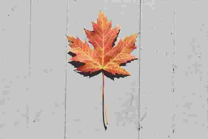 メープルシロップといえば。このカエデの葉をイメージされる方も多いですよね。その通り、メープルとは「サトウカエデ」などを指し、その樹木からでた樹液を煮詰めたものをカエデの樹液=『メープルシロップ』といいます。
