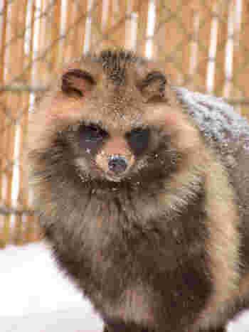 エゾタヌキも北海道固有亜種動物のひとつです。北海道の豊かな自然環境を再現した北海道動物舎で、エゾタヌキがどのように過ごしているのを知りたくありませんか?