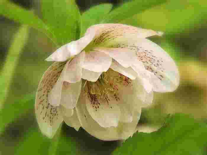 それぞれの品種ごとに様々な花形や咲き方を楽しむことができるのも、クリスマスローズの大きな魅力です。一重咲きの「シングル」や八重咲きの「ダブル」、フリルのような形をしたものや、可愛いカップ咲きの花など。多種多様な形で私たちの目を楽しませてくれます。