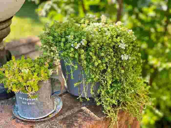 タイムはとても品種の多いハーブですが、育て方にあまり変わりはありません。丈夫な性質で寒さにも強く、冬越ししやすいので、鉢植えでも地植えでも比較的簡単に育てられるでしょう。
