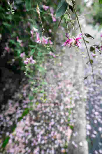 落花した地上に、紫のじゅうたんができあがります。 枝垂れるフォルムは、滝のようなキャスケードブーケに使っても素敵です。