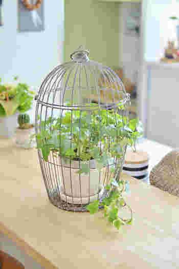 このような鳥かごに鉢ごと入れてディスプレイするのも素敵ですね。キッチンや寝室など、様々な場所に似合いそうです。
