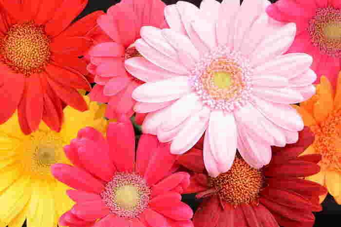 ピンクのガーベラには「感謝」という花言葉がありますが、実はガーベラの花全般の花言葉は「希望」「常に前進」と誰かを応援したい時にぴったり。また、色別では赤が「神秘」「燃える神秘の愛」、黄色が「優しさ」、白が「希望」という花言葉を持っているので、複数の色をミックスするのもおすすめですよ。