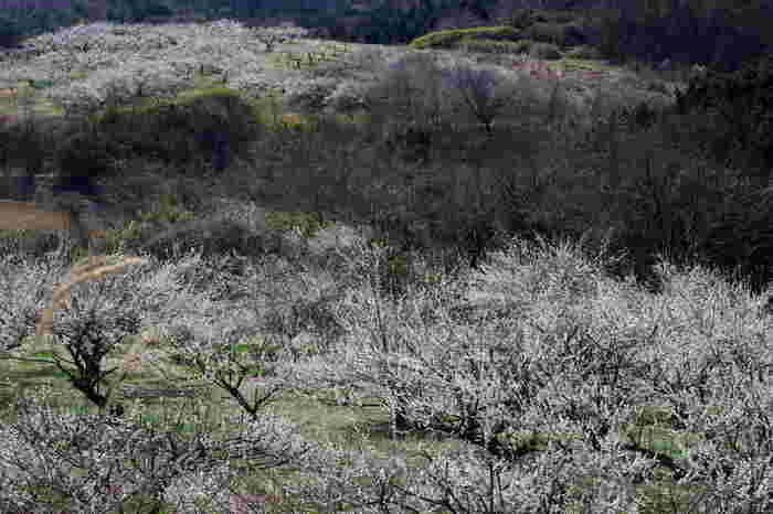 栃木県那那須烏山市なる国営塩那台地の梅の里では、白加賀を中心とした梅約1000本が植樹されています。梅の開花時期になると、梅園内は、ほんのりと甘い香りが漂いに包まれます。