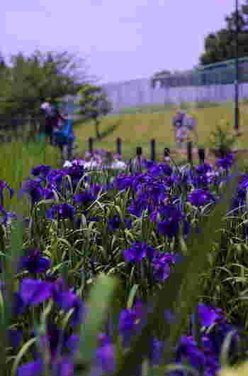 大阪府堺市にある白鷺公園は、運動場、野球場などを備えた総合公園です。園内には、花菖蒲園があり、約100種類以上もの花菖蒲が植えられています。