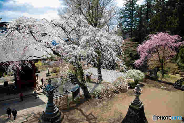 しだれ桜の名所としても知られています。桜と階段のコラボレーション、幽玄の美を感じ、とても素敵ですね。